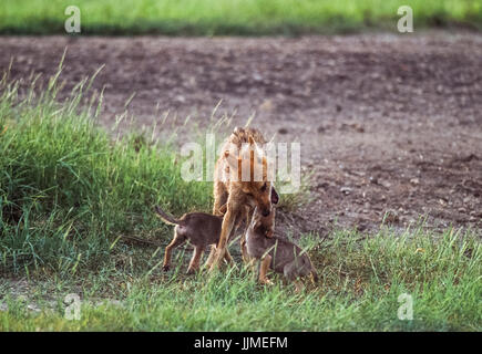 male Indian Jackal, (Canis aureus indicus), plays with cubs near den, Blackbuck National Park, Velavadar, Gujarat, - Stock Image