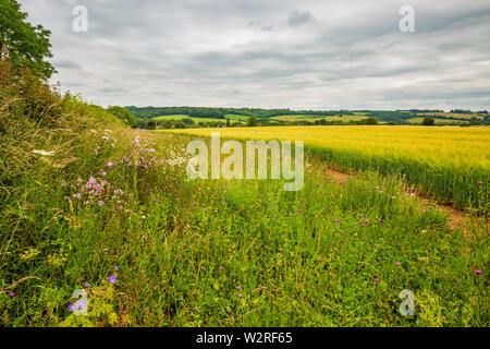 A Conservation Margin next to a field of Golden Barley in the Cotswolds - Stock Image