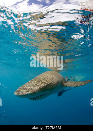Lemon Shark (Negaprion brevirostris) Approaching the Camera, Right beneath the Surface. Tiger Beach, Bahamas - Stock Image