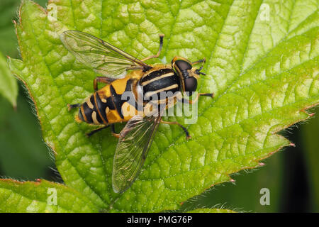 Helophilus pendulus hoverfly. Dorsal view of specimen on bramble leaf. Tipperary, Ireland - Stock Image