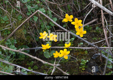 Marsh-Marigold, also known as Kingcup, (Caltha palustris), Lake Königssee, Bavaria, Germany - Stock Image