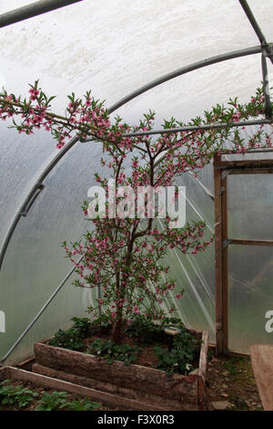 Prunus persica Peach tree in flower in polytunnel - Stock Image