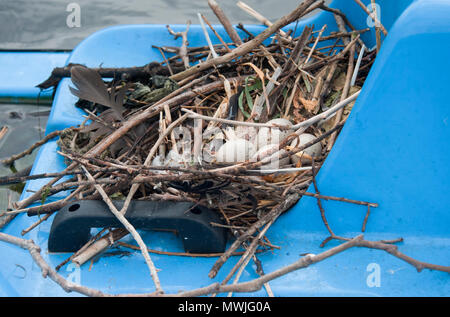 nest and eggs of Eurasian coot, (Fulica atra), also known as the Common Coot or Coot, built on top of boat in Regents Park lake, London,United Kingdom - Stock Image