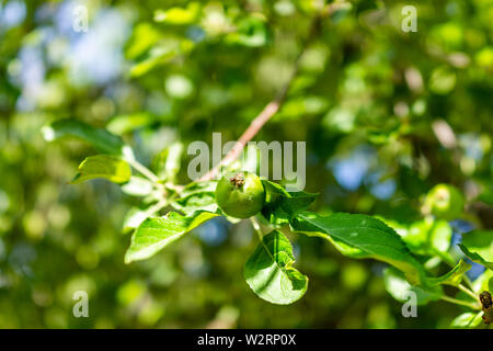 Closeup of small apple tree fruit hanging from green branch in Bandelier National Monument in New Mexico - Stock Image