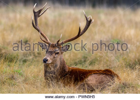 A red deer stag lazing in late afternoon autumn sunshine. - Stock Image