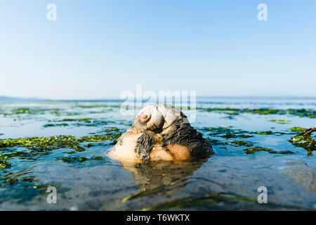 A moon snail digging into the sand at low tide - Stock Image