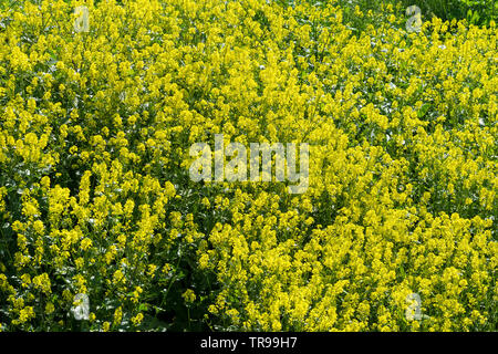 Large patch of Charlock wild flower - Stock Image