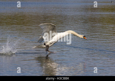 Mute swan (Cygnus olor) landing on water at Moses Gate Country Park, Farnworth, Bolton. - Stock Image