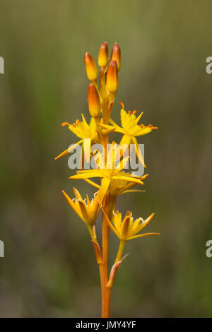 Close-up, macro shot of the yellow flower head of Bog asphodel, also known as Bastard asphodel or Lancashire asphodel - Stock Image
