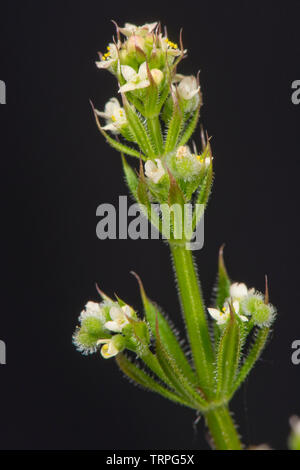 Cleavers, bedstraw, goosegrass, stickyweed, Galium aparine, star shaped, white flowers on annual arable weed, Berkshire, May, - Stock Image