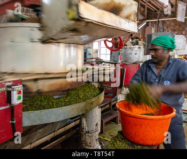 Horizontal view of a worker at a tea factory in Munnar, India. - Stock Image