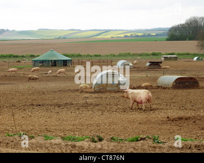 Outdoor pigs and piglets on downland farm in Oxfordshire. - Stock Image