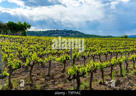 Production of rose, red and white wine near small town Lacoste in Luberon, Provence, South of France, vineyard in early summer - Stock Image