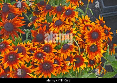 Close up of flowering Rudbeckia 'Summerina Orange' in a flower border - Stock Image
