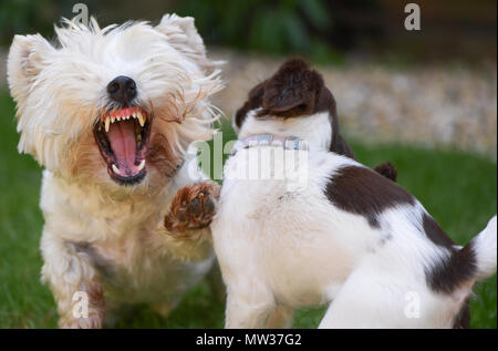 A West Highland Terrier although playing shows its teeth in a display of Im the Boss while it socialises with a puppy English Springer Spaniel. - Stock Image