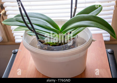 Watering the Phalaenopsis Orchid by put flower pot in deep water in a bigger bowl at home. Botanical and house flowers concept. Close up - Stock Image
