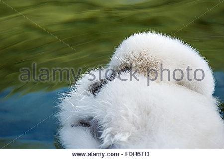 Fluffy mute swan cygnet - Cygnus olor - Stock Image