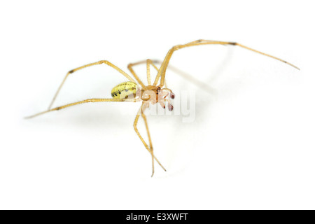 Male Candystripe or Polymorphic spider (Enoplognatha ovata), part of the family Theridiidae - Cobweb weavers. Isolated - Stock Image