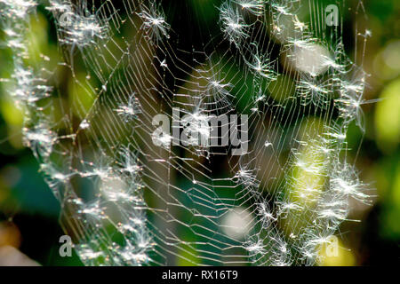 Close up of a back-lit spider's web covered in seeds released from Rosebay Willowherb (epilobium angustifolium). - Stock Image