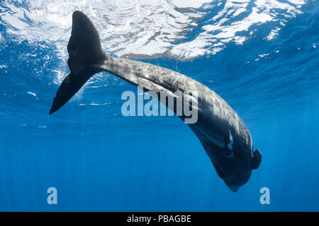 Sperm whale calf (Physeter macrocephalus) at surface, this is a very small calf about half  of normal birth size. Sri Lanka, Indian Ocean. - Stock Image