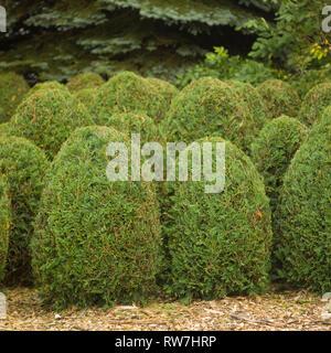 Small, Egg-Shaped Arborvitae Shrubs - Stock Image
