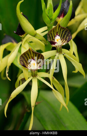 Orchid (Prosthechea cochleata) in forest near Monteverde Cloudforest Preserve, Tiaran, Costa Rica - Stock Image