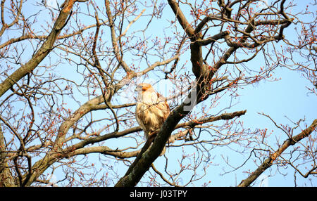 Copper's Hawk, Latin: Accipiter cooperii, perched high on a sugar maple tree in Mount Pleasant Cemetery, Toronto - Stock Image