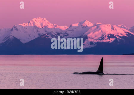 Orca whale (Orcinus orca) near Admiralty Island in Inside Passage with Coast Range in the background, Southeast Alaska - Stock Image