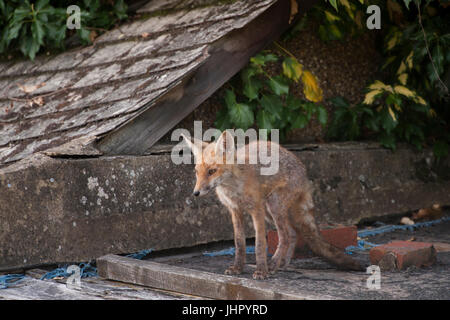 urban Red Fox cub, (Vulpes vulpes), on garden shed roof, London, United Kingdom, British Isles - Stock Image