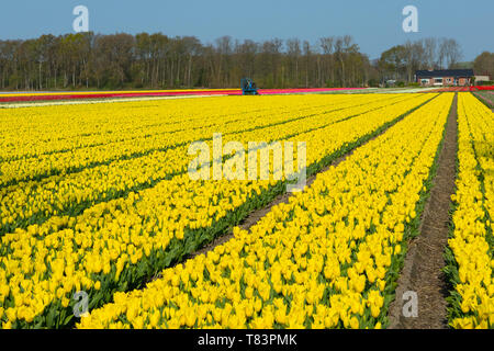 Lisse, Holland - April 18, 2019: Traditional Dutch tulip field with rows yellow flowers - Stock Image