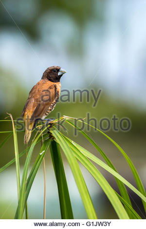 chestnut-breasted mannikin also known as the chestnut-breasted munia or bully bird (Lonchura castaneothorax) - Stock Image