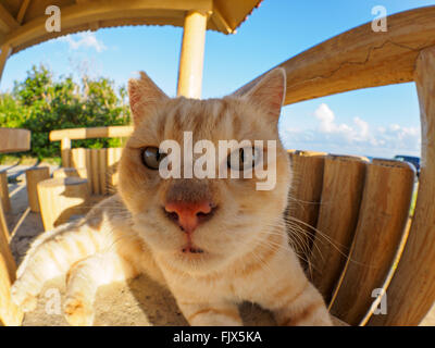 Close-Up Portrait Of Cat Sitting On Wooden Seat At Gazebo - Stock Image