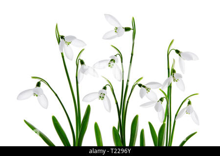 Spring snowdrop flower, isolated on white background - Stock Image