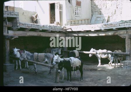 Donkeys tied to a hitching post, street scene; Bukhara, Uzbekistan. - Stock Image