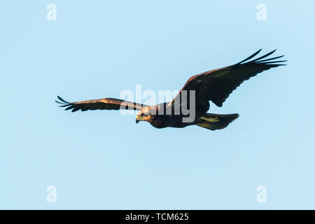 Female Western marsh harrier, Circus aeruginosus, bird of prey in flight searching and hunting above a field - Stock Image