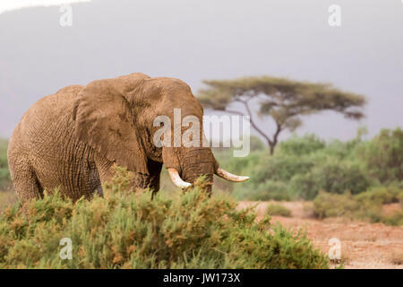 Male African Elephant (Loxodonta Africana) on the savannah - Stock Image