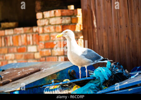 Herring Gull On A Waste Container - Stock Image
