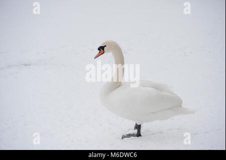 male Mute Swan, (Cygnus olor), standing in snow, Regents Park, London, United Kingdom - Stock Image