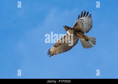 Red-tailed hawk (Buteo jamaicensis) in flight, Klamath Basin National Wildlife Refuge; Merrill, Oregon, United States of America - Stock Image