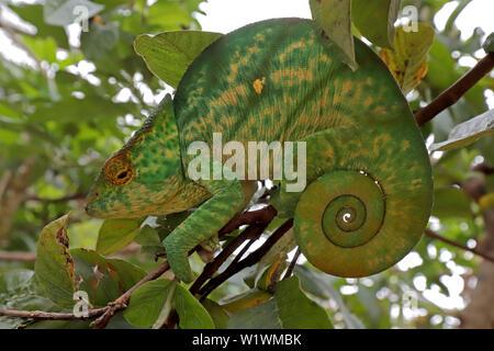 Female Parson's Chameleon Calumma parsonii Madagascar - Stock Image