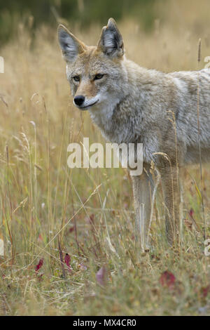 Portrait of wild coyote in Canada captures its distinctive eyes - Stock Image