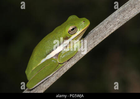 An American green tree frog resting on a dead cattail leaf. - Stock Image
