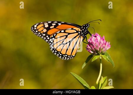 A monarch butterfly, Danaus plexippus, on clover in Grafton, Massachusetts. - Stock Image