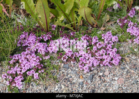 Wild Thyme (Thymus polytrichus) flowers growing in stony tundra habitat in summer. Narsaq, Kujalleq, South Greenland - Stock Image