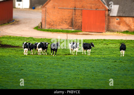 Cows on a row on a rural green field with a red brick farm in the background - Stock Image
