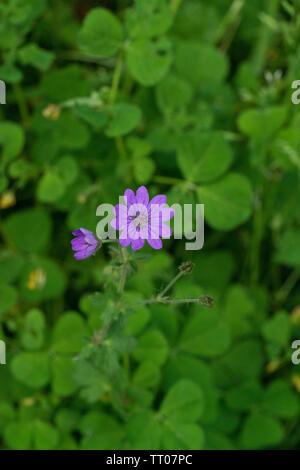 Flower of Hedgerow Crane's-bill - Stock Image