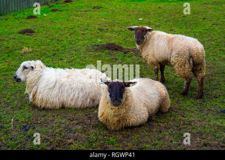 Three sheep on show in an enclosure by a farm café in North Yorkshire in rain in winter. - Stock Image