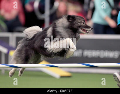 Westminster Dog Show - 9 February 2019, New York City:  Ruger, A Keeshound, competing in the preliminaries of the Westminster Kennel Club's Master's Agility Championship. - Stock Image