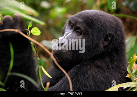 Close-up of a Mountain Gorilla (Gorilla beringei beringei) in Bwindi Impenetrable National Park, Uganda - Stock Image