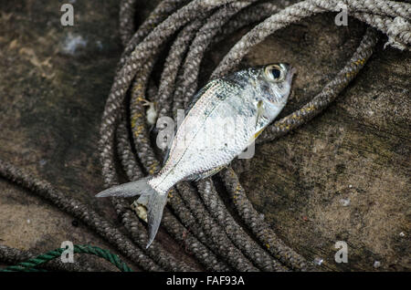 artisanal fishing, sierra leone - Stock Image